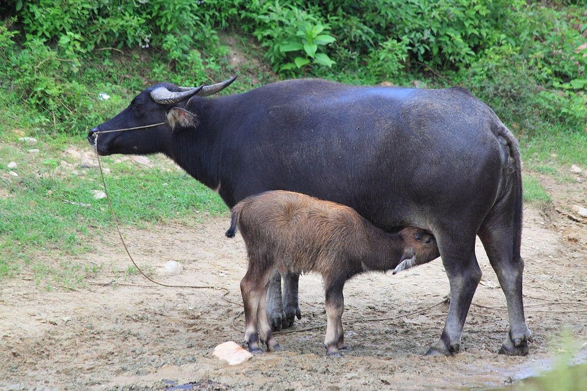 Thai Buffalo PNG-PlusPNG.com-1200 - Thai Buffalo PNG