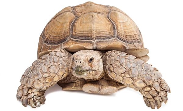 Tortoise PNG - 7220