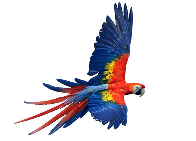 The scarlet macaw u2013 one o