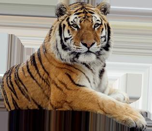 Tiger PNG - 5552