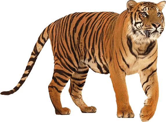 Download - Tiger HD PNG