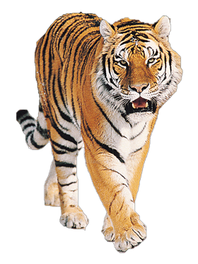 Front Face Tiger PNG Photo - Tiger HD PNG