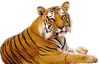Tiger PNG - Tiger HD PNG