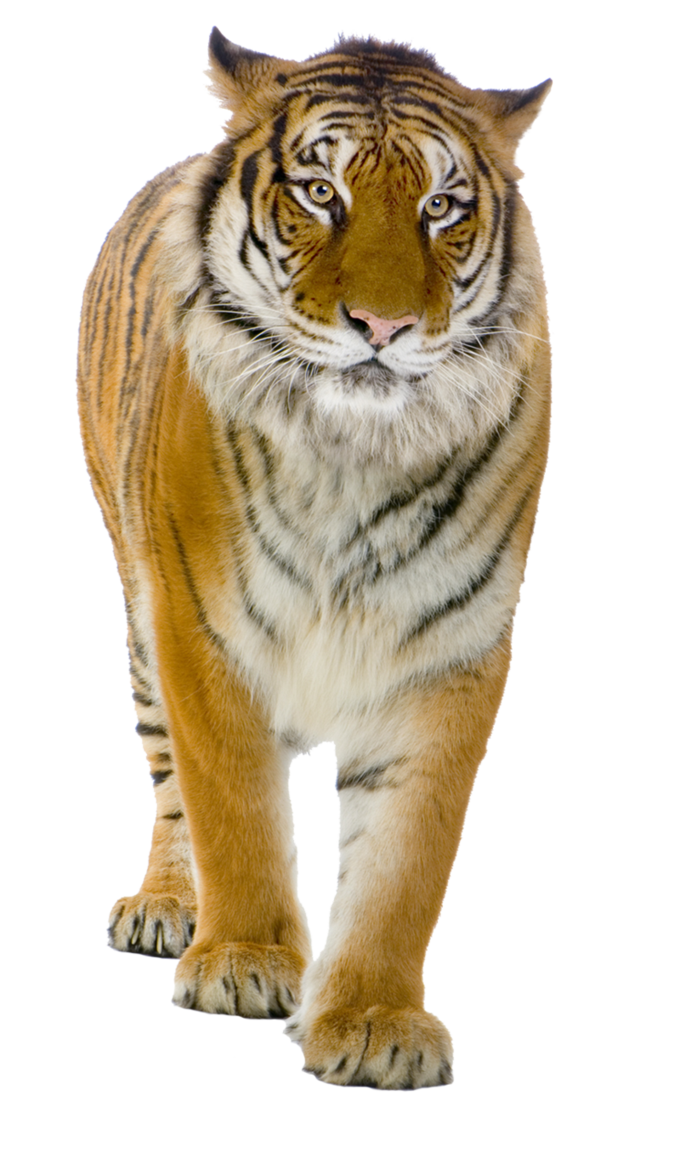 Tiger PNG by LG-Design PlusPng.com  - Tiger HD PNG