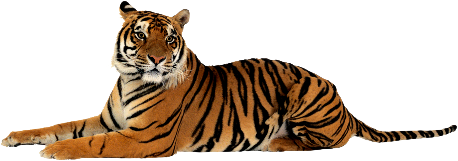 tiger PNG HD quality - Tiger HD PNG