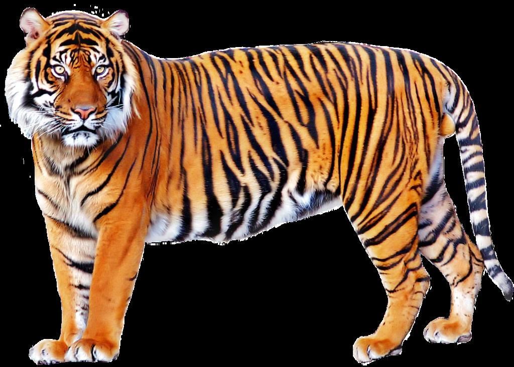 Tiger PNG Image - Tiger HD PNG
