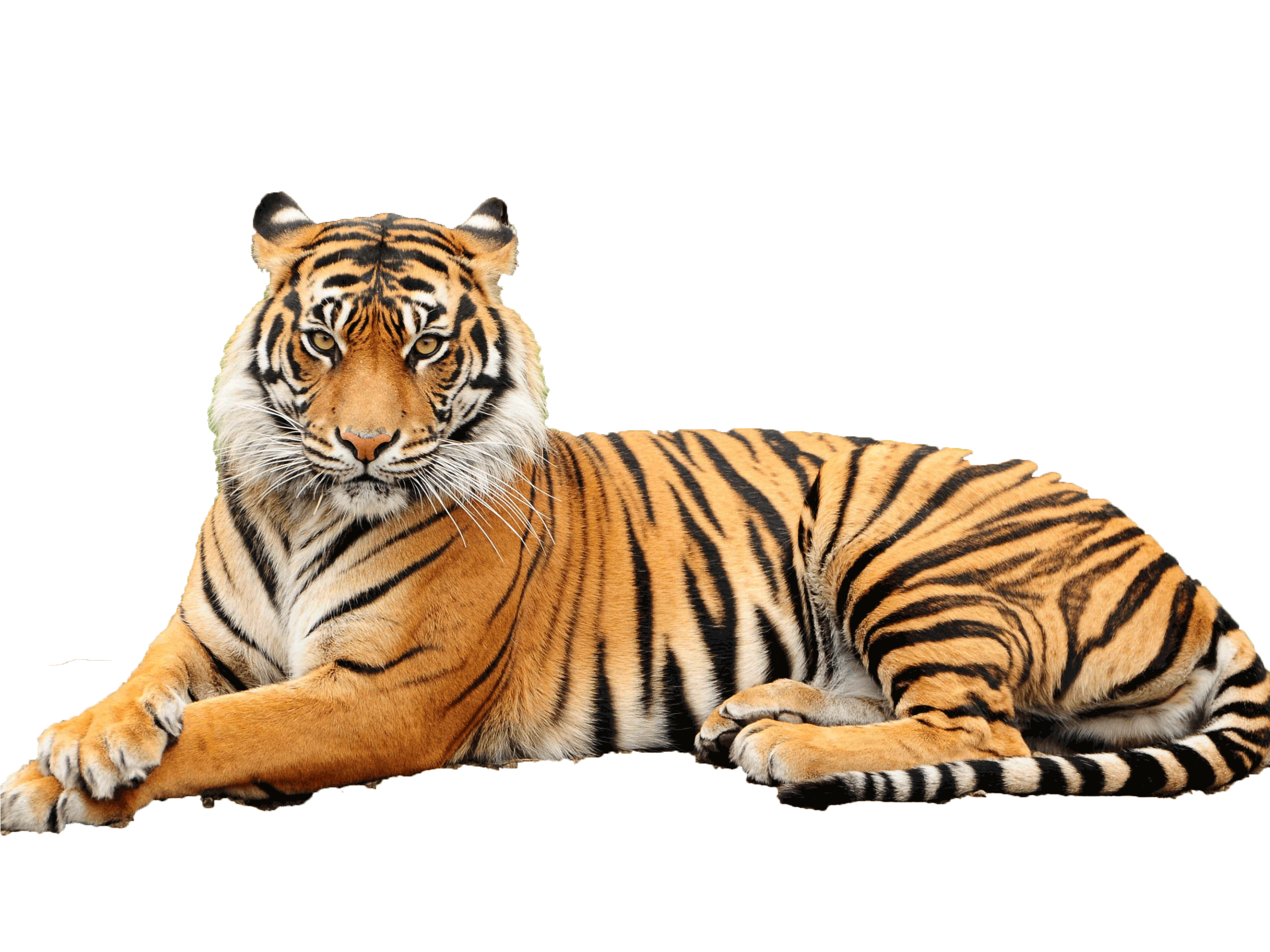 Tiger Png Pictures Image #39177 - PNG Tiger Face - Tiger HD PNG