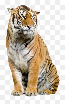 tiger, Tiger, Animal PNG Image - Tiger HD PNG