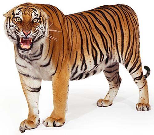 Tiger PNG-PlusPNG.com-500 - Tiger PNG