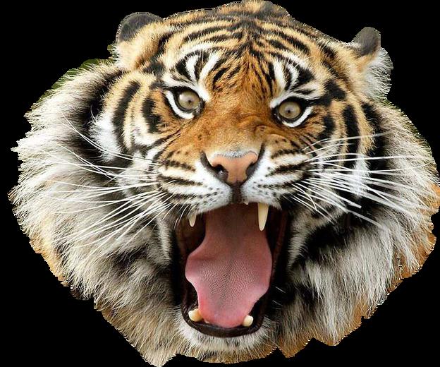 Tiger PNG-PlusPNG.com-624 - Tiger PNG