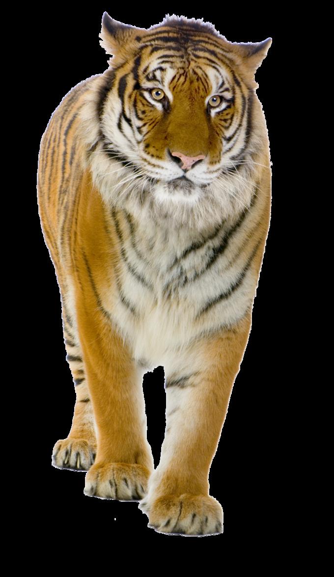 Tiger PNG - 5558