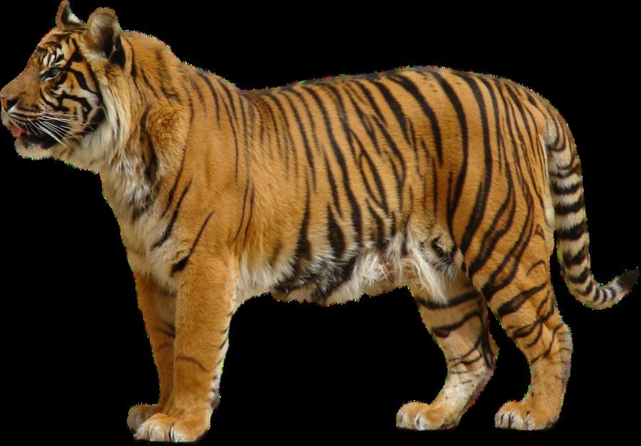 Tiger PNG - 5559