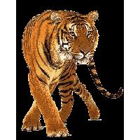 Tiger PNG - 5555