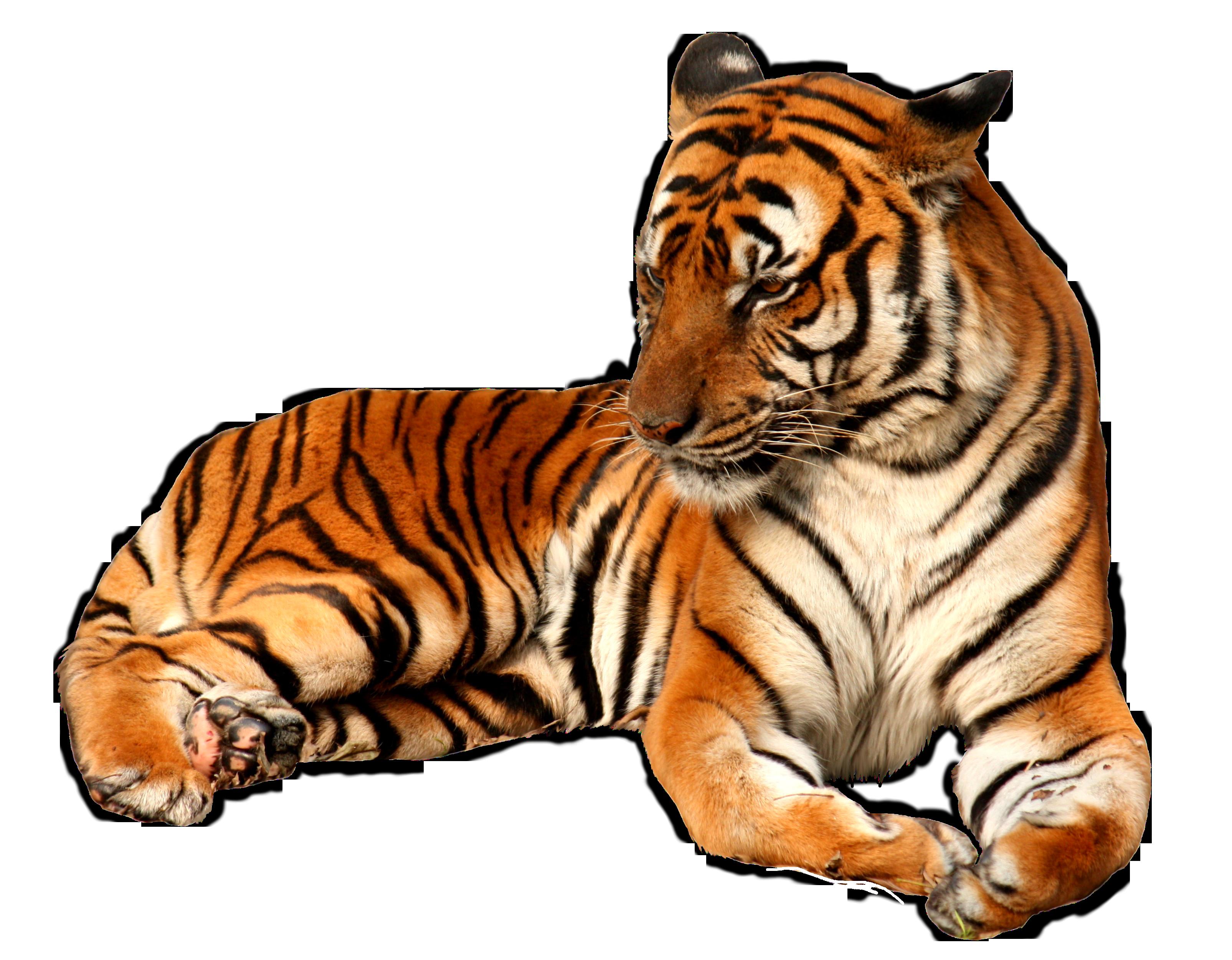 Tiger PNG - 5556