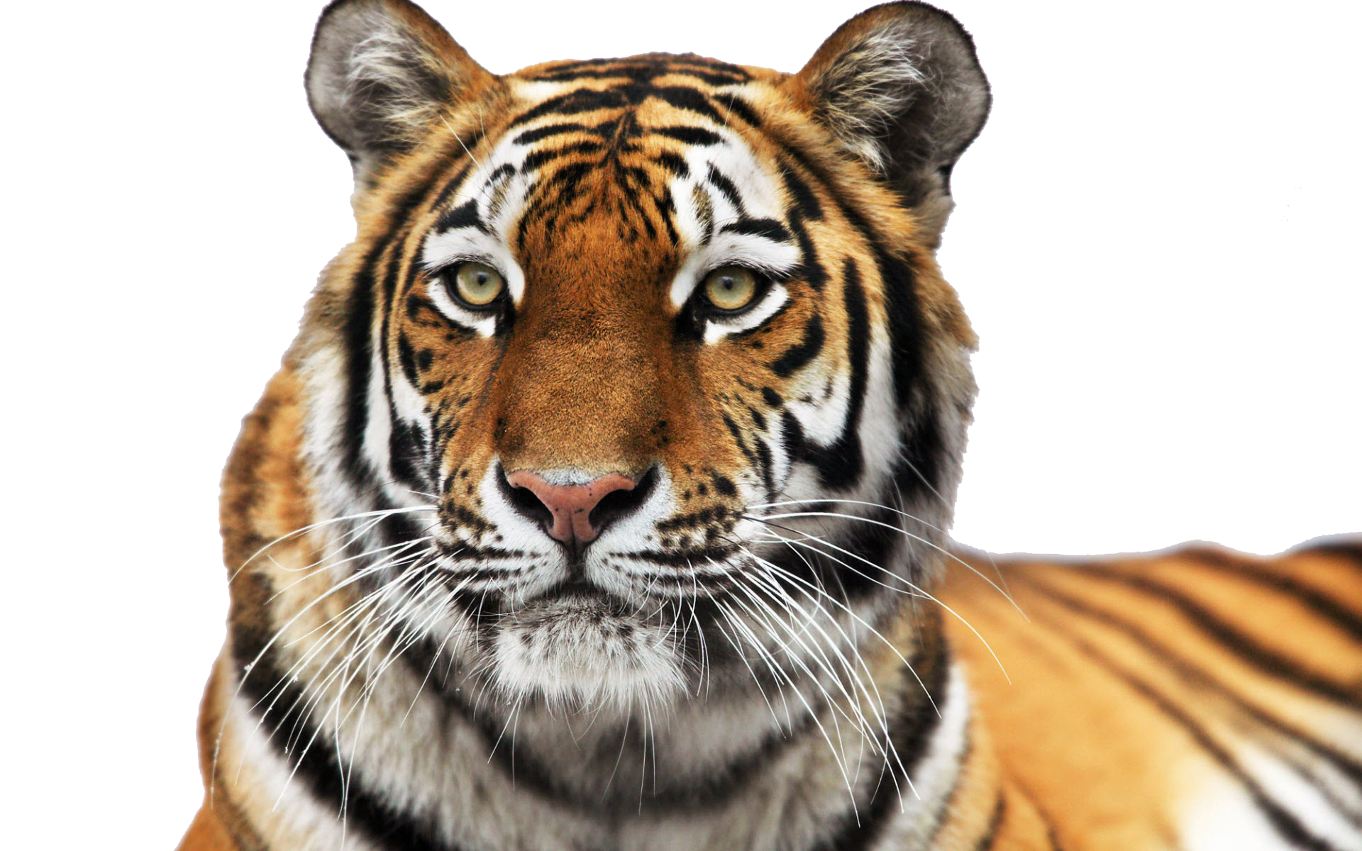 Tiger Face PNG Clipart - Tiger PNG