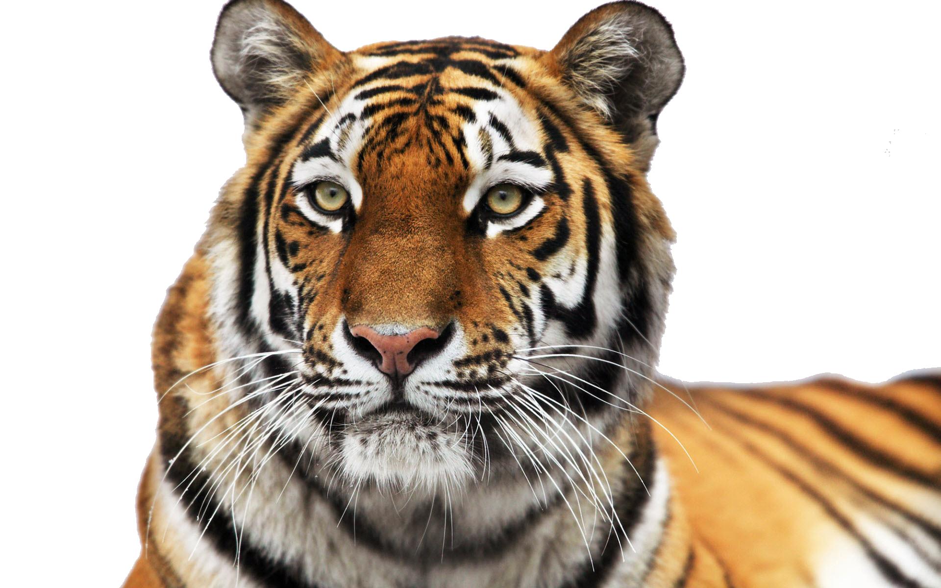 Tiger Face PNG Clipart - Tiger PNG