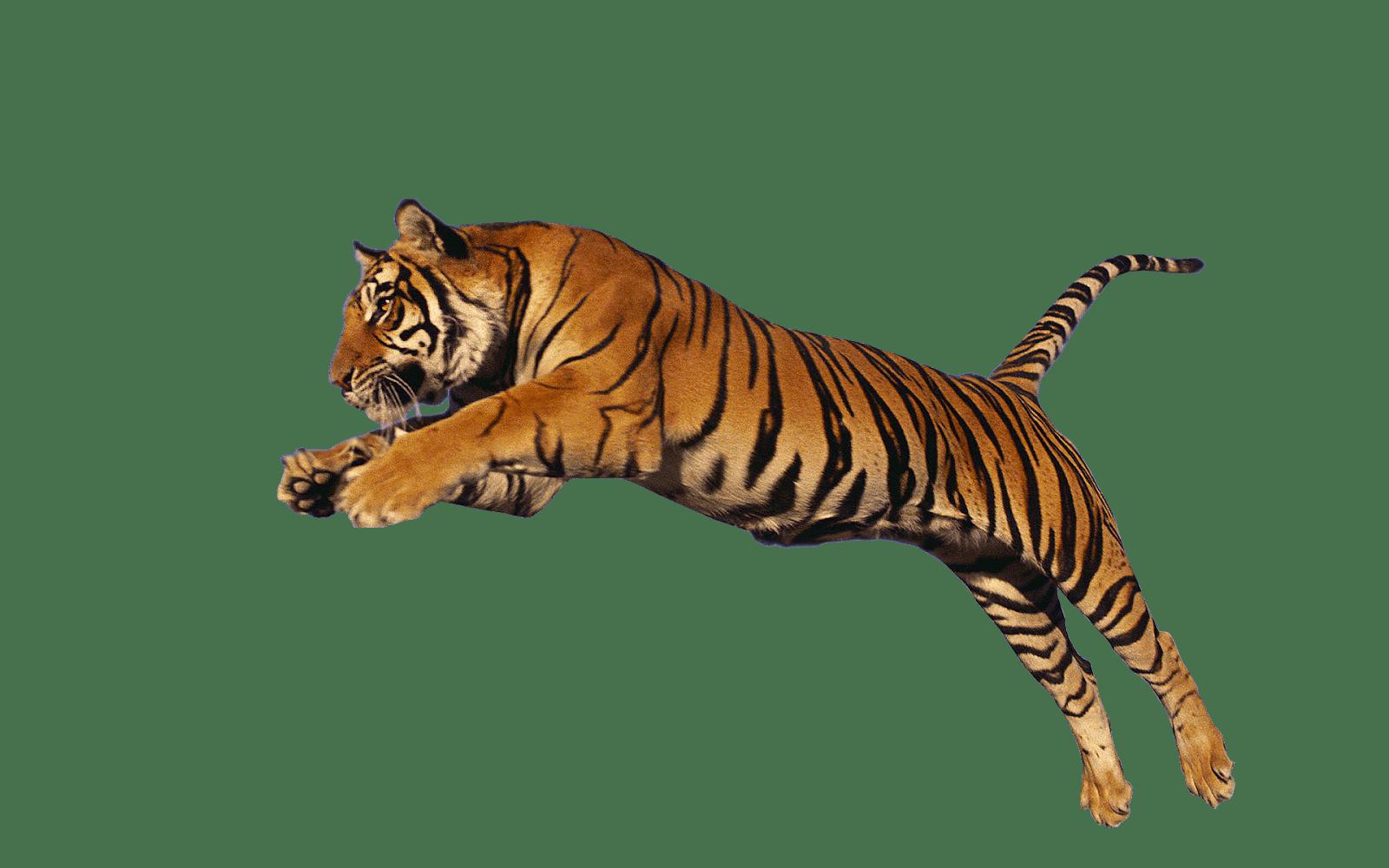Tiger Jump High - Tiger PNG