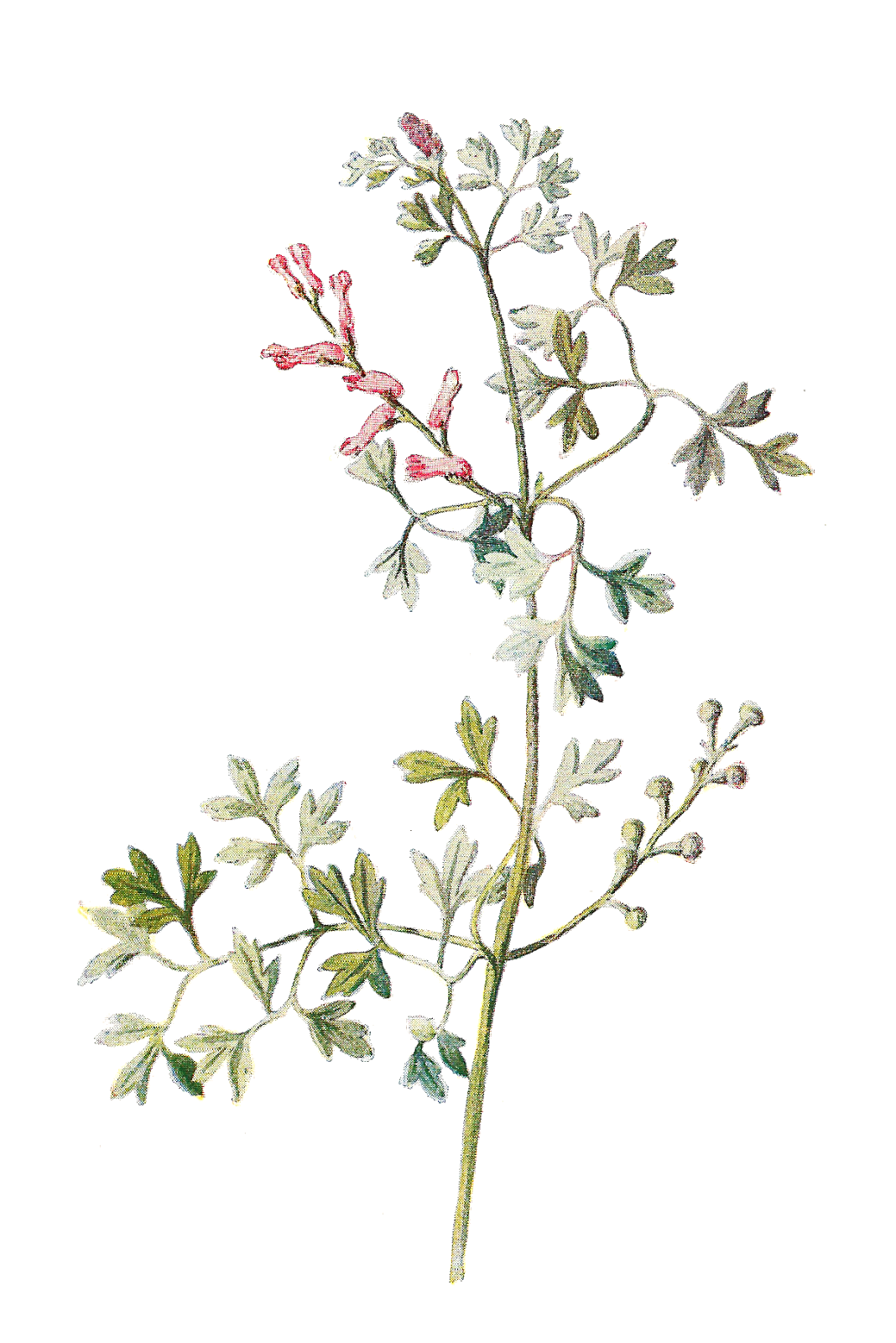 While itu0027s not the most appealing name for a flower, this beautiful  illustration shows that this wildflower is incredibly pretty. The tiny PlusPng.com  - Tiny Flowers PNG