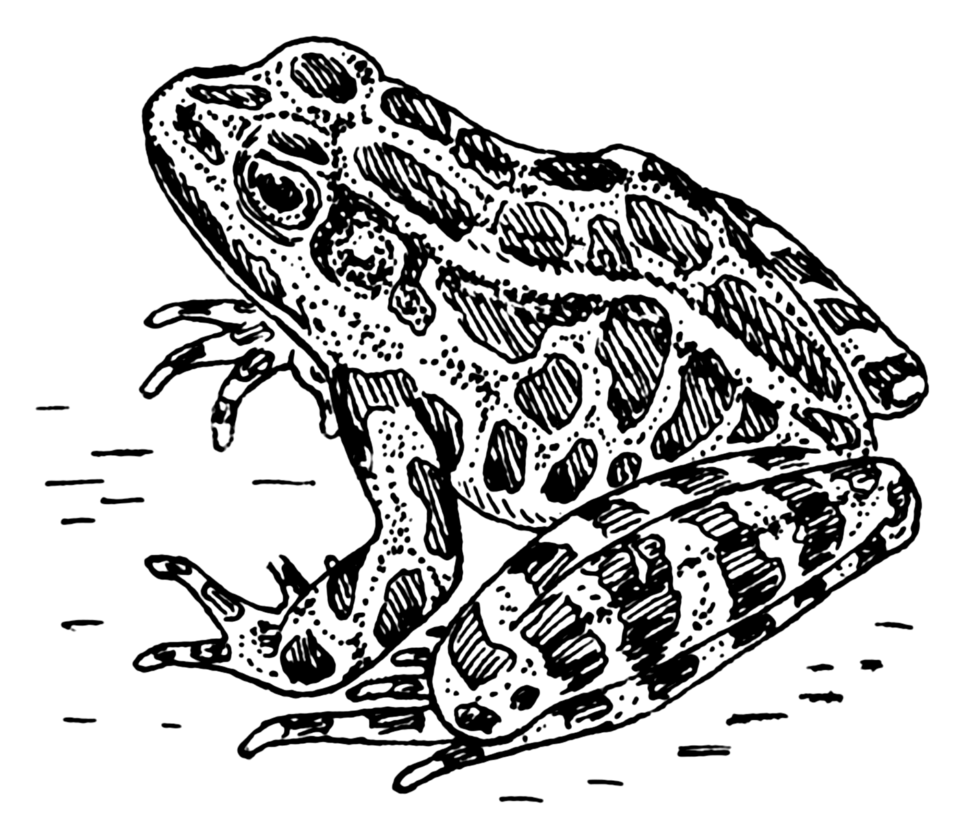 File:Frog 001.png - Toad PNG Black And White