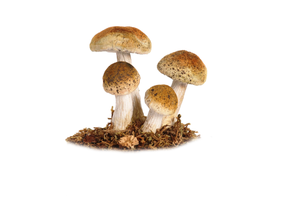 Mushroom Png 5 by Moonglowlilly PlusPng.com  - Toadstool PNG HD