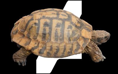 Tortoise PNG - 7217