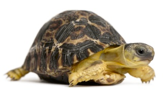Tortoise PNG - 7222