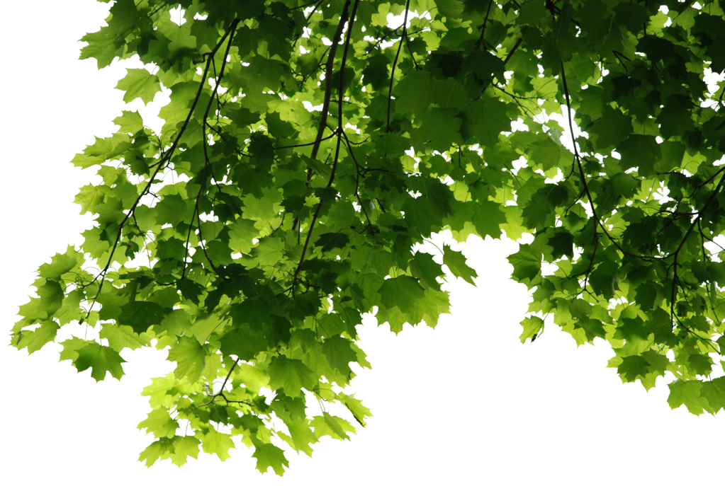 HD Tree Leaves Render by 3FixR PlusPng.com  - Tree HD PNG
