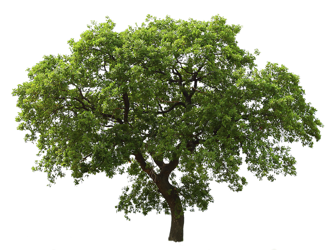 oak tree medium