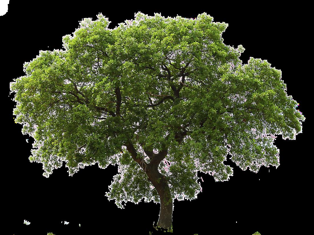 Oak Tree Medium - Tree HD PNG