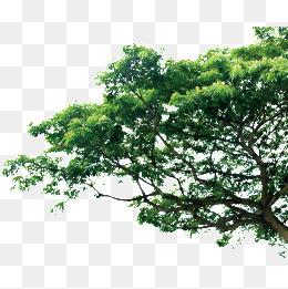 Tree, Pine Trees, Trees, Pine PNG Image - Tree HD PNG