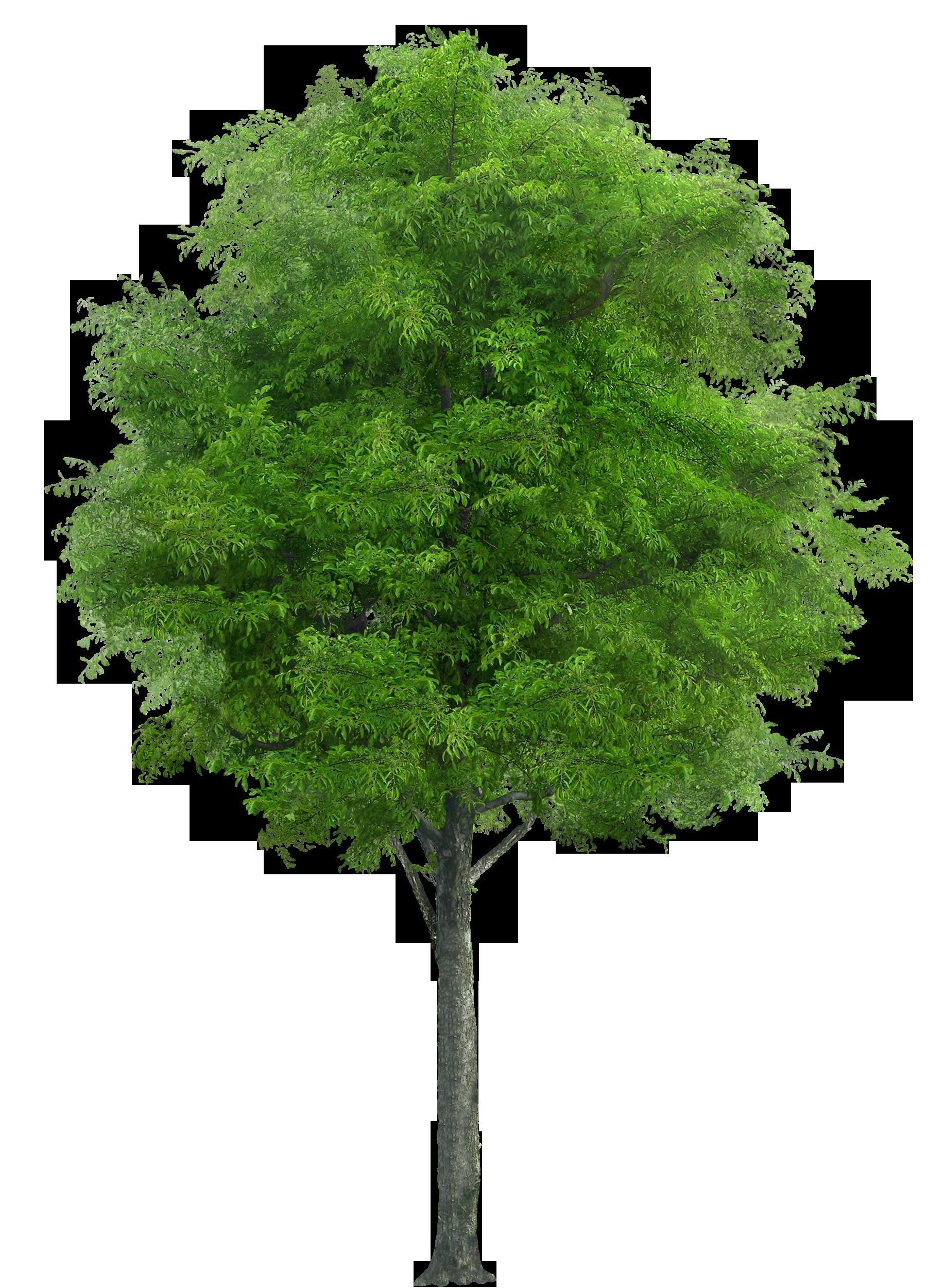 Tree Png Image - Tree HD PNG