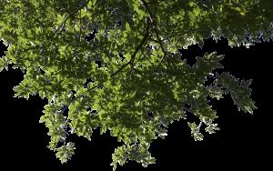 Tree Limb PNG - 88735