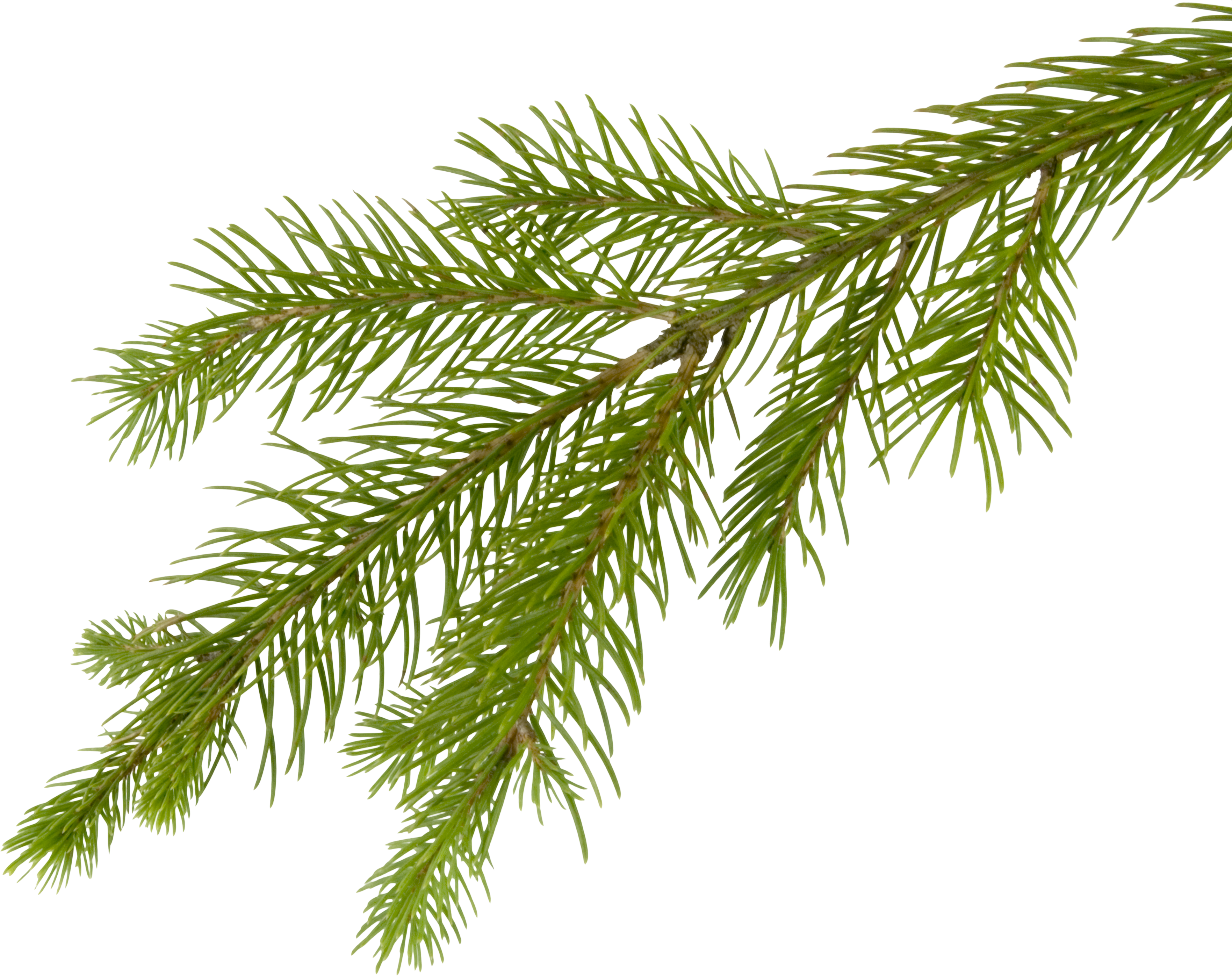 Fir-tree PNG Image - Tree Limb PNG