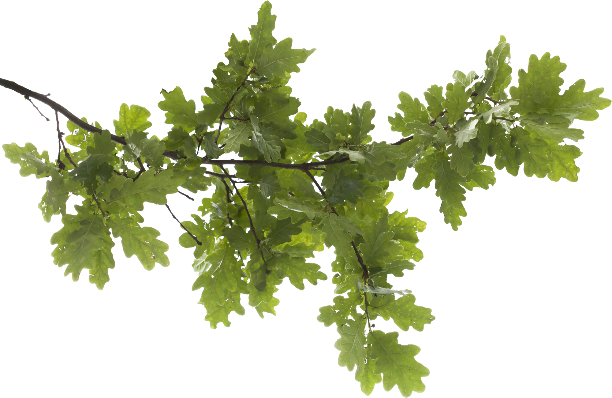 Tree Branch PNG Transparent Image - Tree Limb PNG