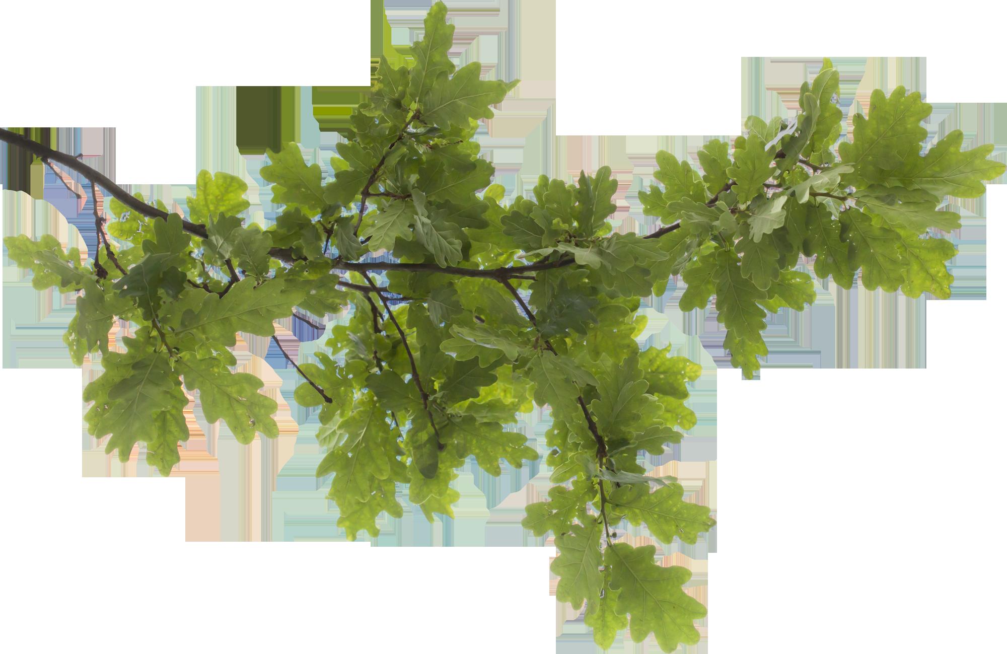 Tree Limb PNG - 88721