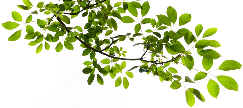 Tree-Branch-Transparent-PNG.png - Tree Limb PNG