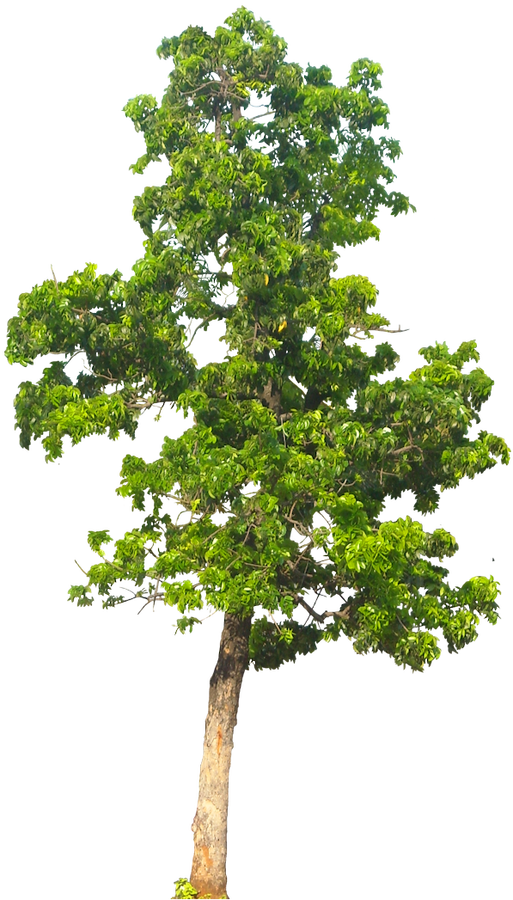 Tree PNG - 21378