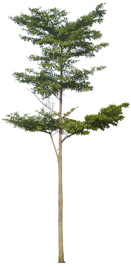 20 Free Tree PNG Images - terminaliamantaly02L - Tree PNG