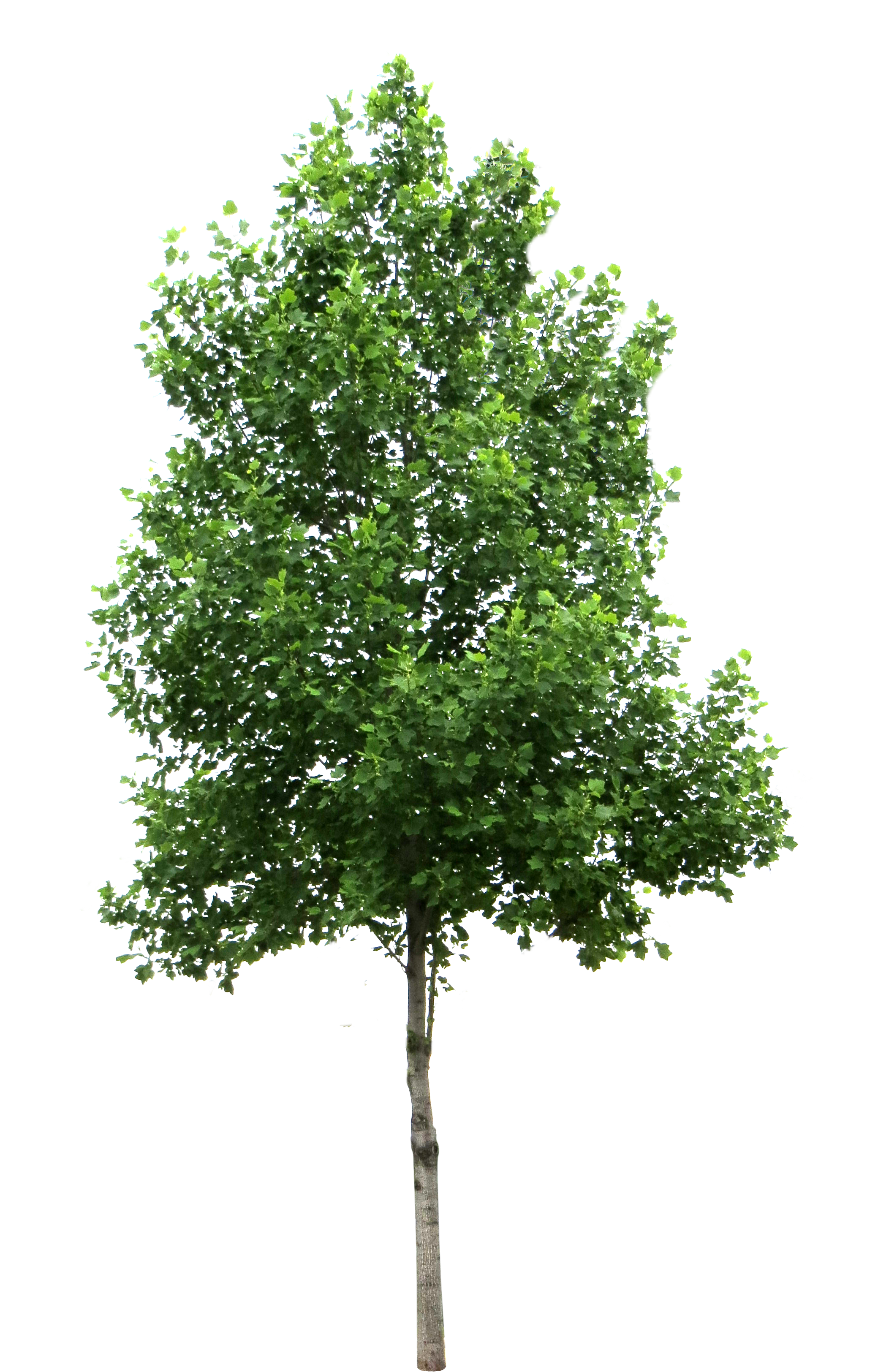 Tree PNG - 21377