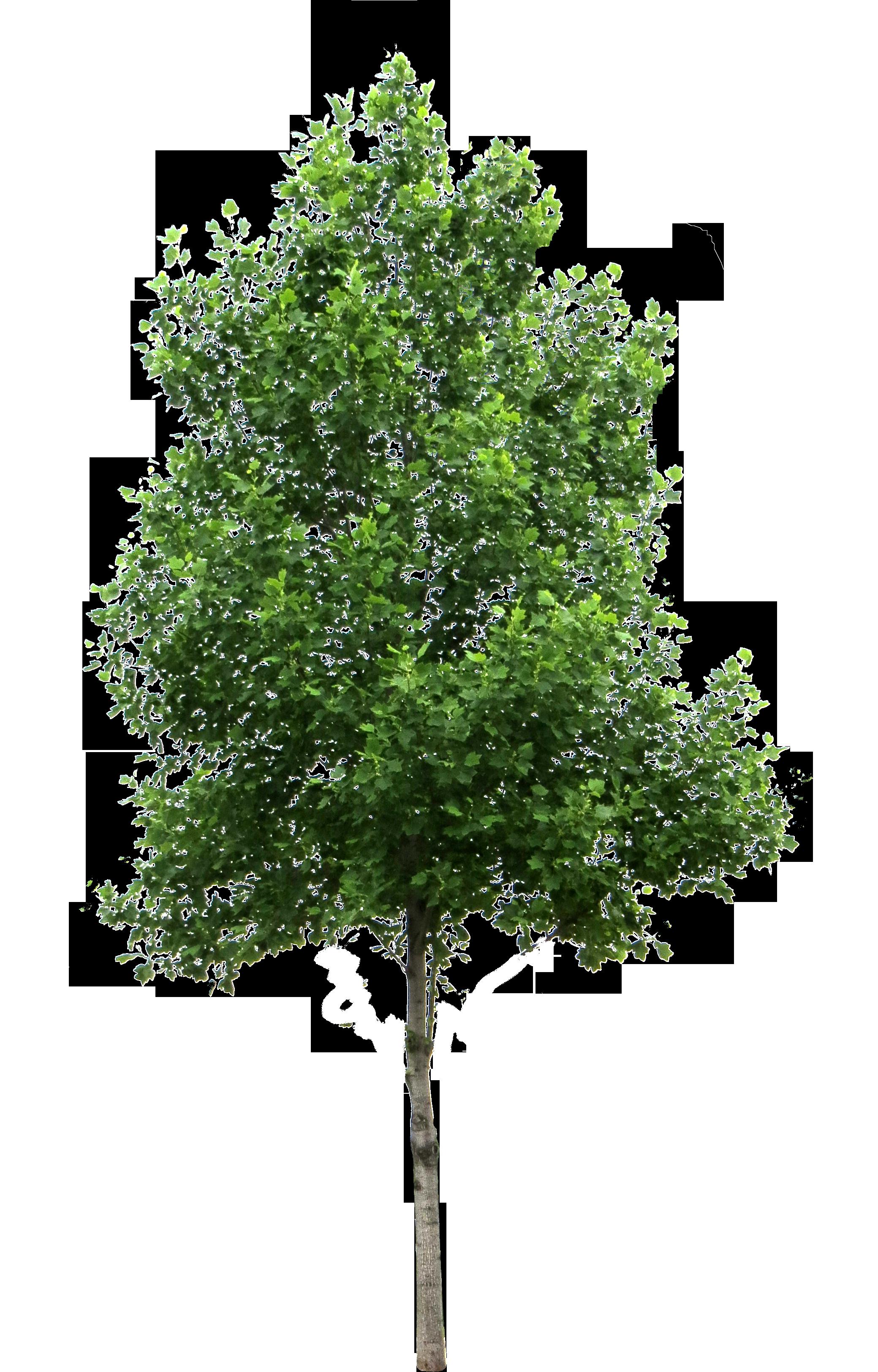 . PlusPng.com birch tree small PlusPng.com  - Tree PNG
