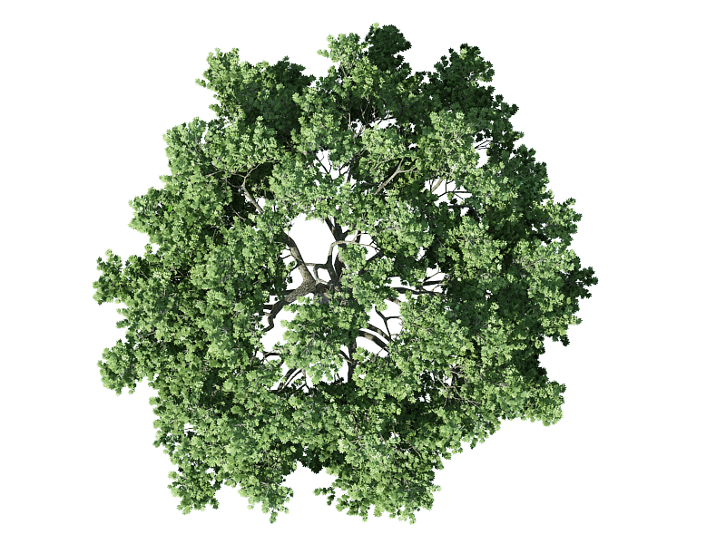 top view of european rowan tr