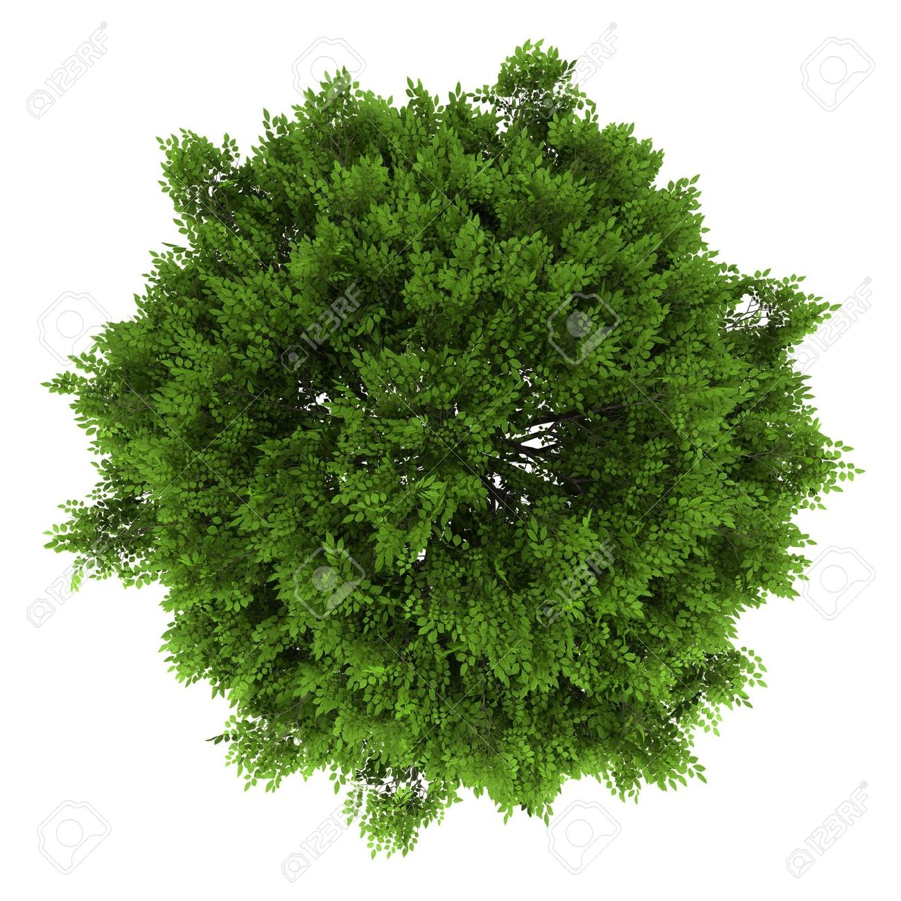Top View Of European Ash Tree Isolated On White Background Stock Photo