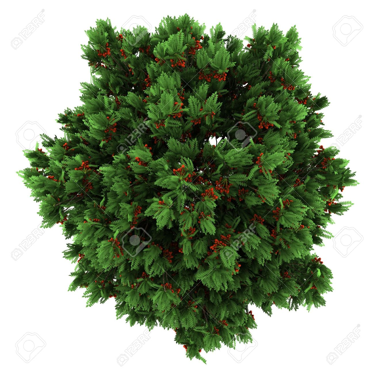 Top View Of European Rowan Tree Isolated On White Background Stock Photo