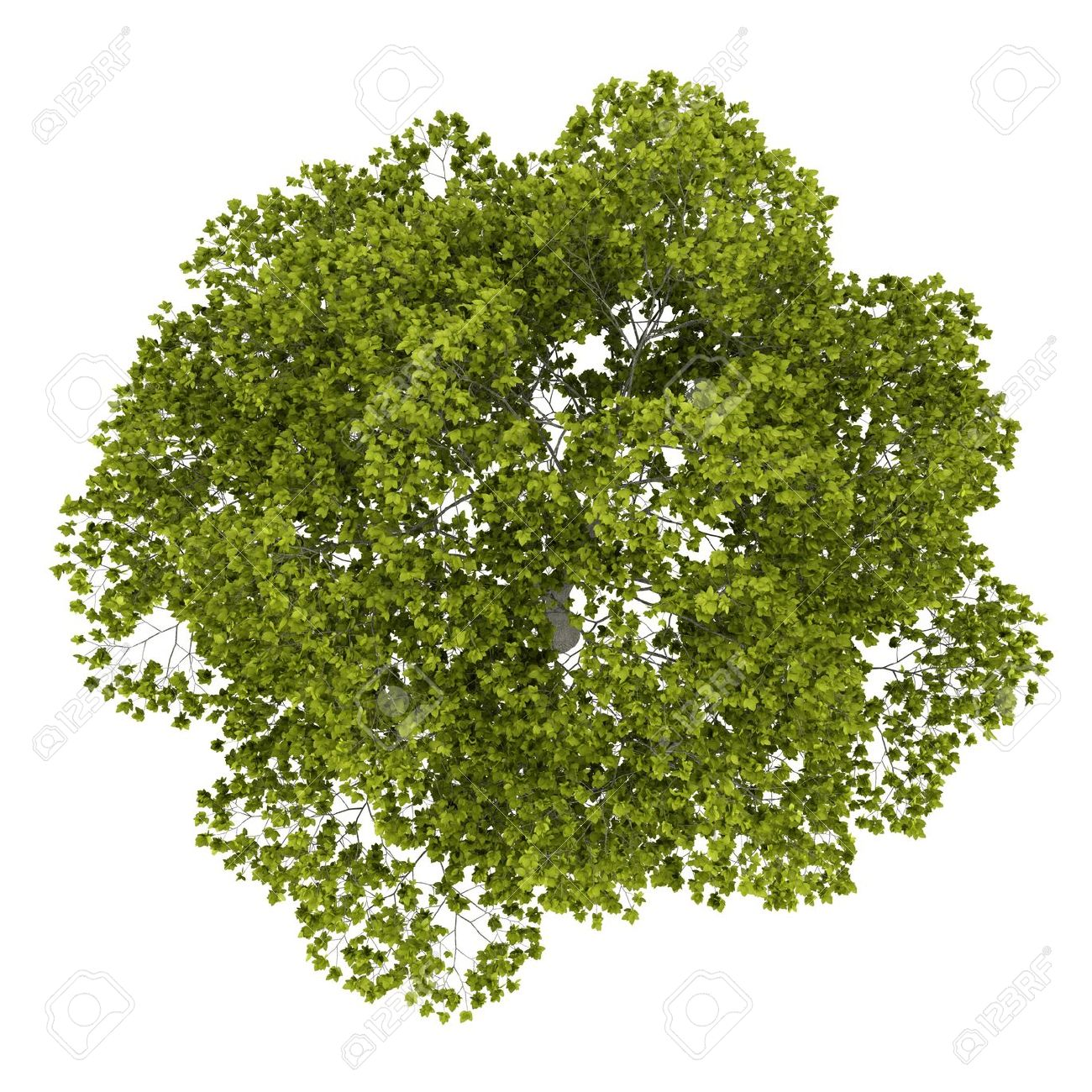 Black-locust-tree PNG Top Vie
