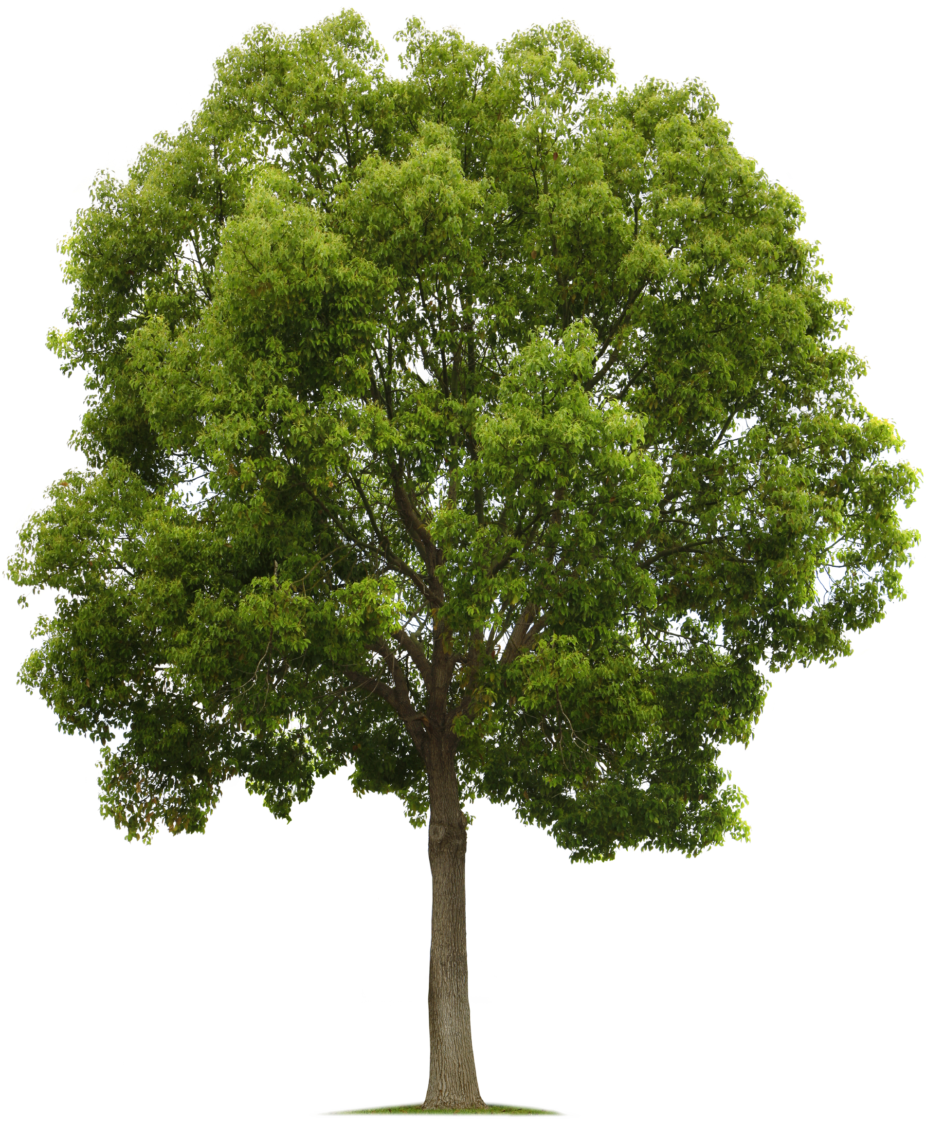 Tree PNG - 21373