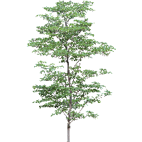 Tree PNG - 21379