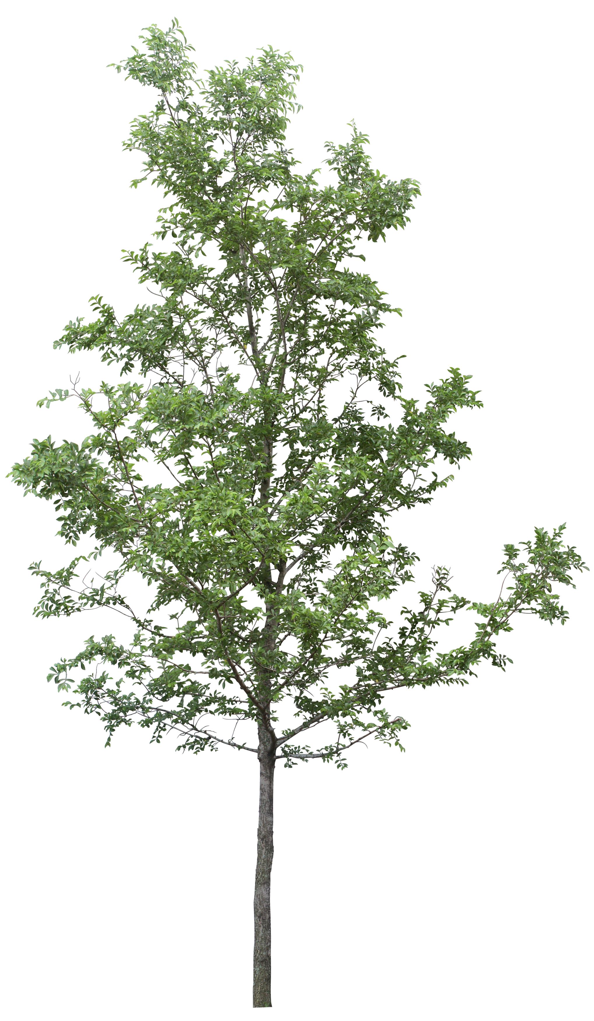 Tree PNG - 21370