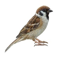 Tree Sparrow clipart graphics (Free clip art found on Polyvore - Sparrow PNG