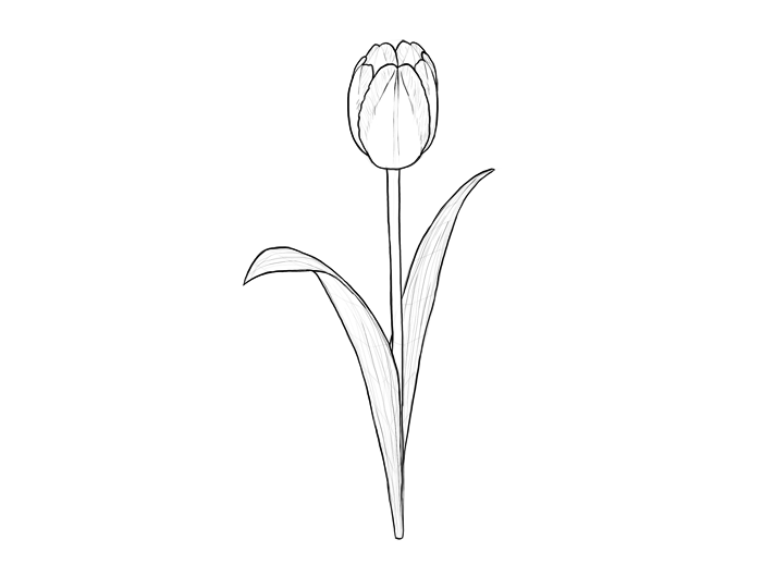 Tulip PNG Outline - 81450