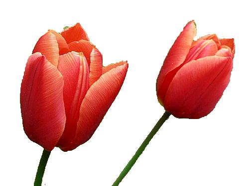 PNG File Name: Tulip PlusPng.com  - Tulip PNG